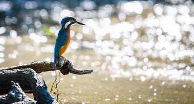 Un martin pescatore che pesca nel fiume