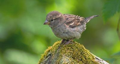 Uccello marrone