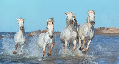 Cavalli in Camargue
