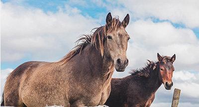 Cavalli irlandesi