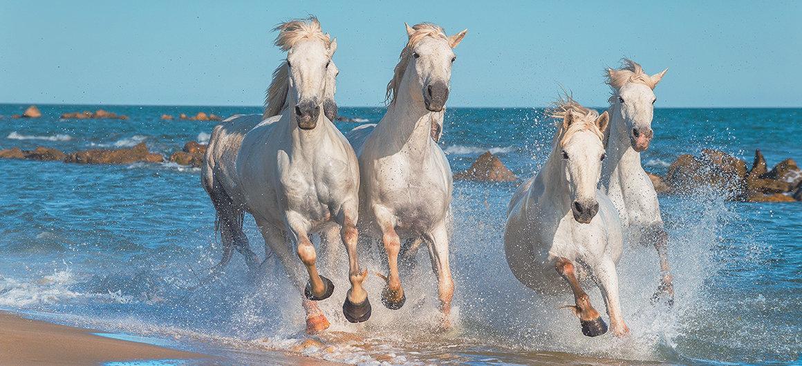 Cavalli bianchi di Camargue
