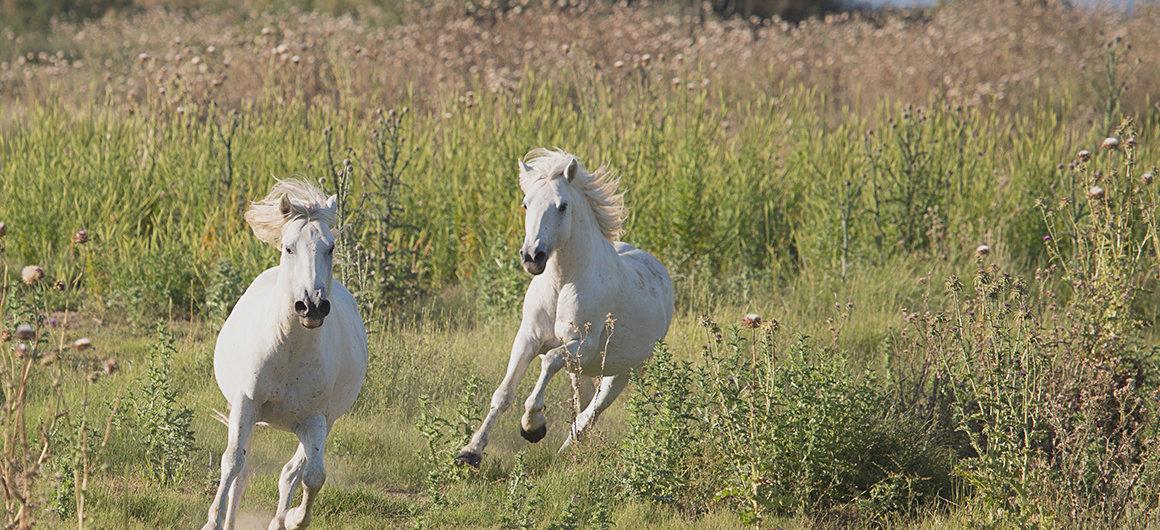 Cavalli selvaggi in Camargue